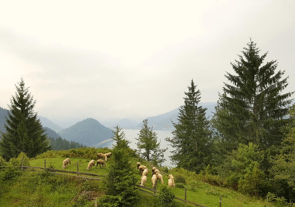 ovce livada ispasa planina tara netaknuta priroda turizam srbija visitserbia